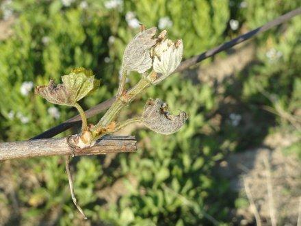 Aude : les 2000 hectares de la plaine narbonnaise touchés par le gel