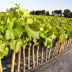 Plantation : le vignoble du Languedoc-Roussillon se remet à l'heure de l'expansion