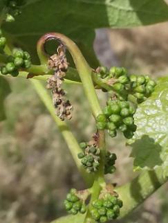 Bordeaux 2015 : les bio, mieux lotis dans leur protection phyto ?