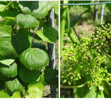 Phytosanitaires : le Luna privilège suspecté de provoquer des dégâts sur vigne