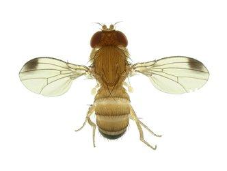 Drosophila suzukii : parution d'une note nationale pour surveiller le ravageur
