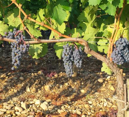 Vendanges 2015 à Bordeaux : les raisins commencent à mûrir, dans la normale