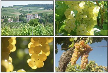 Cognac : le vignoble prédit un rendement 2015 de 110 hl/ha