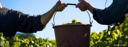 Bourgogne: coup d'envoi des vendanges 2015