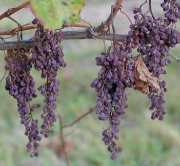 Maladies du bois de la vigne : l'INRA-Bordeaux Science Agro remporte l'appel à projet Hennessy