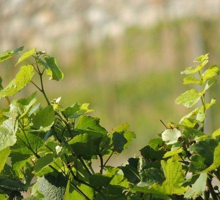Gironde : les autorisations de plantation 2017 seront équivalentes à celles de 2016