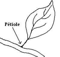 Piloter la fertilisation de la vigne grâce à l'analyse pétiolaire