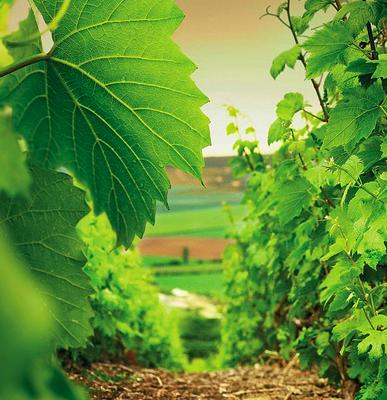 Champagne : Pol Roger augmente de 10 % la surface de son vignoble