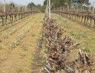 Taille mécanisée : peu de différence sur le profil des vins