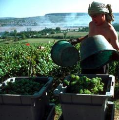 Vins de Champagne : une vendange réduite, des rendements maintenus