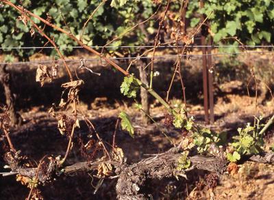 Maladies du bois de la vigne : à la recherche de moyens de lutte et de contrôle