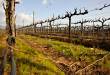 Chilean vineyards on alert following severe frosts