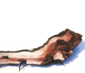 Recherche sur les maladies du bois de la vigne : « il est temps de passer à la vitesse supérieure »