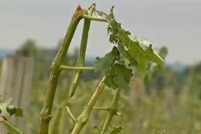 Médoc : 2 000 hectares de vignes grêlés en une nuit de Pentecôte
