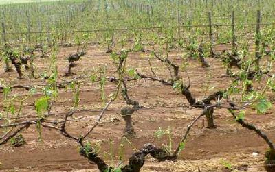 Cognac : terribles orages de grêle sur les premières fleurs de vigne [actualisé]
