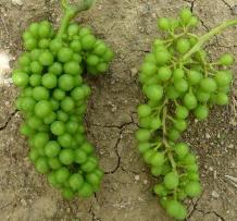 Côtes de Beaune : l'orage de grêle douche les espoirs d'un millésime 2014 à plein