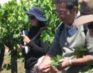 Langue des vignes : Jean-Michel Boursiquot devient (officiellement) professeur en ampélographie