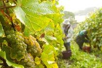 Vendanges 2014 : le Val de Loire se prépare à un rendement