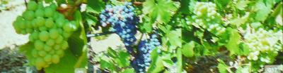 Les cépages résistants monogéniques : source inépuisable d'incompréhension entre INRA et vignerons