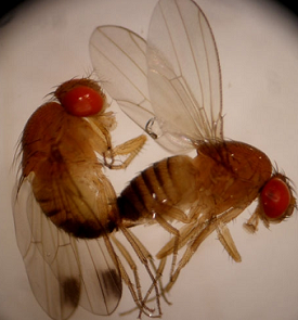 Pourriture acide des raisins : Drosophila suzukii, ennemi n°1 de la recherche suisse
