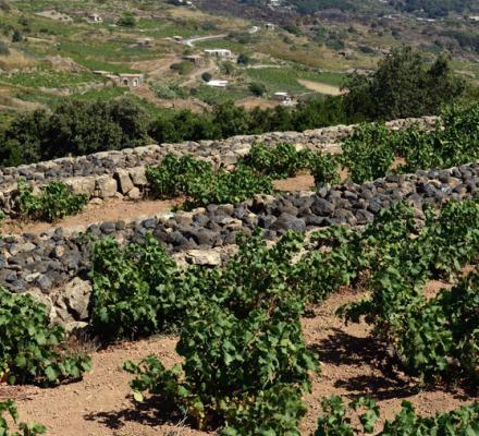 Première mondiale : l'Unesco inscrit au Patrimoine culturel de l'humanité la taille de la vigne en alberello