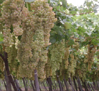 Cognac : tours de passe-passe et vignes pisse-vin de nouveau en procès