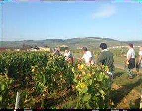 Flavescence dorée 2014 en Bourgogne : la maladie est contenue