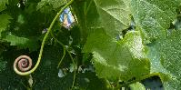 L'oïdium devient «une préoccupation majeure» des viticulteurs
